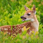 The Sounds Deer Make – What Do They Mean?